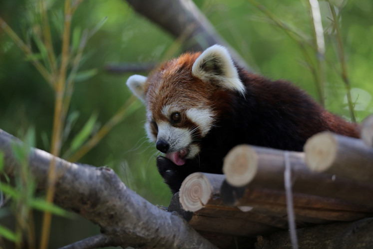 Chile zoo introduces two rare red pandas to the public