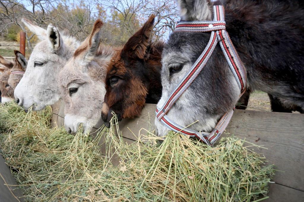 Udderly healthy: Donkey milk a hit in Albania
