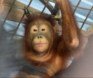 Ape escape: Indonesian orangutans airlifted back to wild