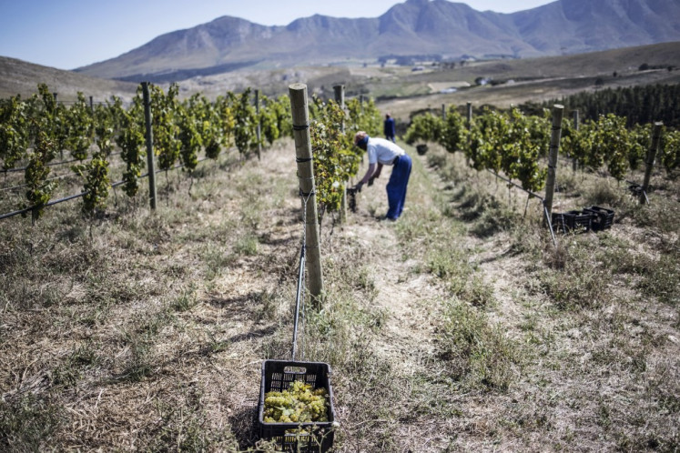 Staff workers tend to Chardonnay grapes at the 52 hectares South African winery owned by Anthony Hamilton Russell in Hemel en Aarde, on February 23, 2021. 'Heaven and Earth', this is the name in Afrikaans for this valley nestled between arid mountains and the freshness of the ocean where pioneers produce different wines.