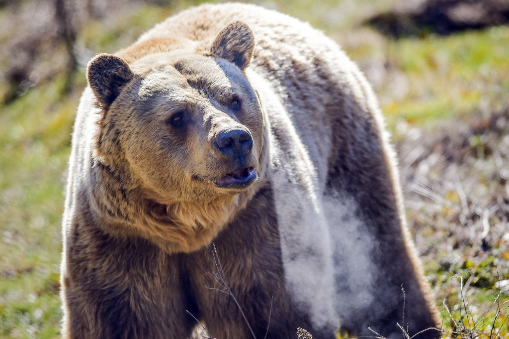 Kosovo's abused 'restaurant bears' move to greener pastures